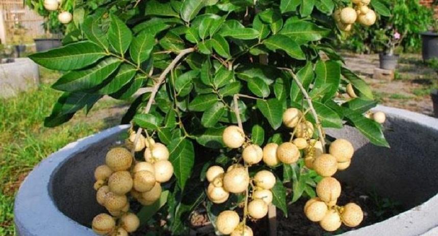 Лонган фрукт Тая
