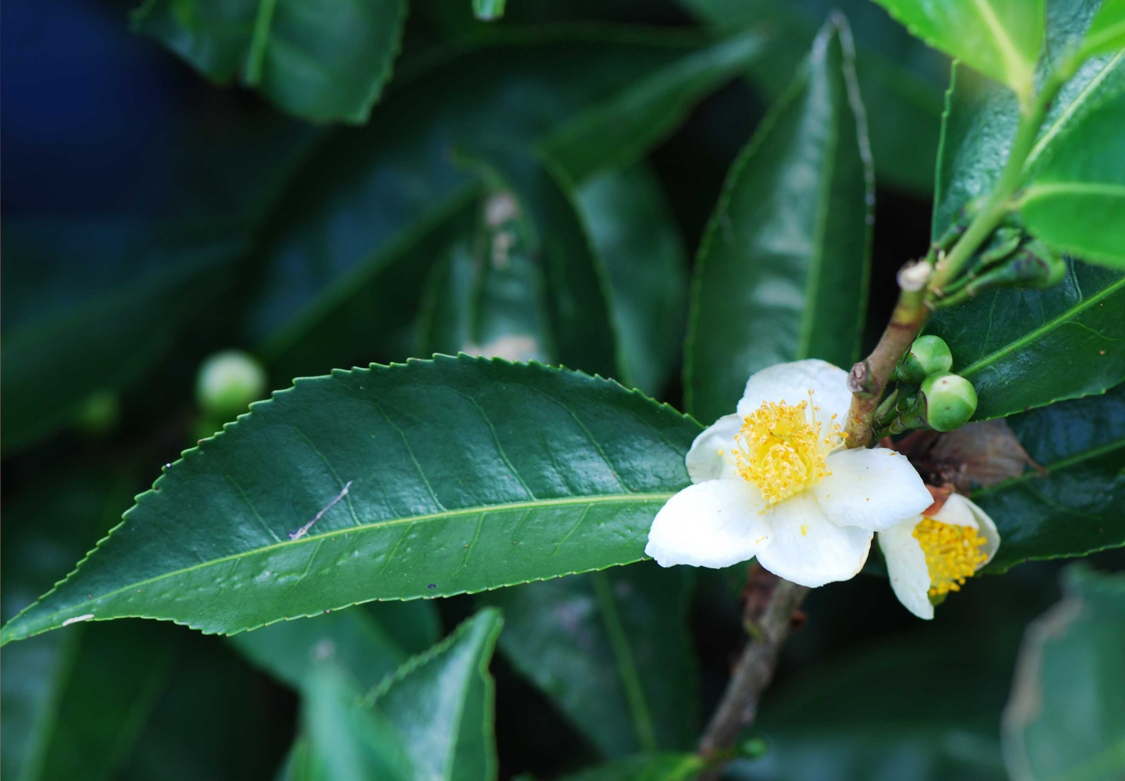 Фото Camellia Sinensi